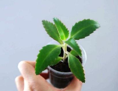Применение каланхоэ в народной медицине для суставов (растение каланхоэ: лечебные свойства и противопоказания листа при насморке