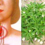 Лапчатка белая: полезные свойства и противопоказания. Спасаем щитовидную железу!