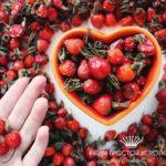 Лечение шиповником: секреты заваривания. Как сохранить все витамины. Лечение отварами и настоями