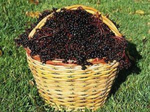 Миниатюра к статье Несколько отличных рецептов с ягодами бузины: лечимся и молодеем!
