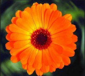 Миниатюра к статье Оранжевый целитель: лечебные свойства календулы и противопоказания к применению