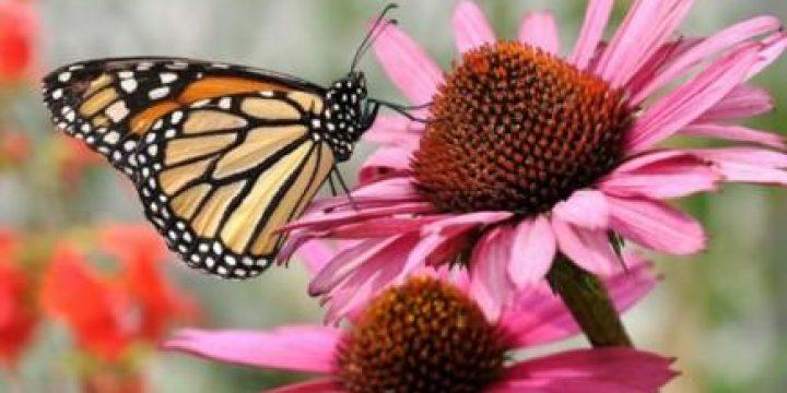 Миниатюра к статье Чудесный цветок эхинацея: лечебные и полезные свойства и противопоказания