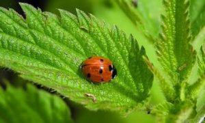 Миниатюра к статье Крапива, лечебные свойства и противопоказания: целебное растение «с характером»