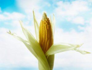 Миниатюра к статье Кукурузные рыльца, лечебные свойства и противопоказания: целебные косы золотого початка