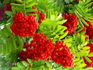 Миниатюра к статье Красная рябина, полезные, лечебные свойства и противопоказания. Целебная скромница у нашего окошка