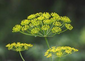 Миниатюра к статье Семена укропа, полезные свойства и противопоказания: целебные прописи