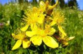 Миниатюра к статье Зверобой, полезные свойства и противопоказания: трава, которая сама находит болезнь