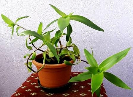 Lechebnye svojstva zolotogo usa i protivopokazanija
