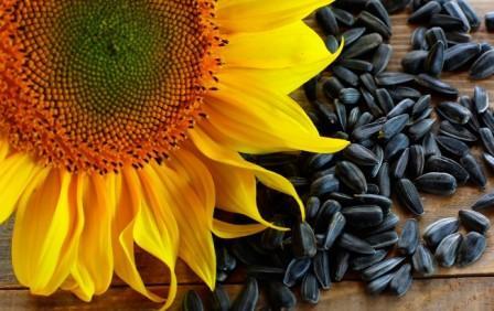 Семечки подсолнечника - польза и вред, полезные свойства