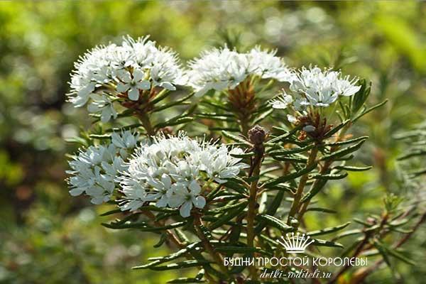 Багульник-болотный-лечебные-свойства-и-противопоказания