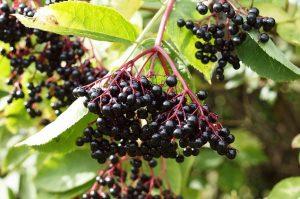 Миниатюра к статье Бузина черная: лечение, рецепты